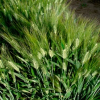 Vitron Durum Wheat