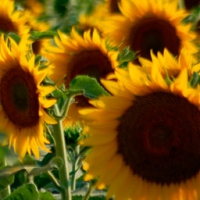 Sungro 393 Sunflower