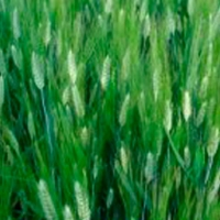 Semolero Durum Wheat