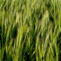 Catedral Soft Wheat