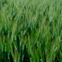 Euroduro Durum Wheat
