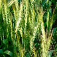 Yecora Soft Wheat
