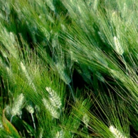 Gallareta Durum Wheat
